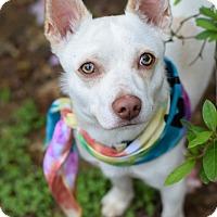 Adopt A Pet :: Cap'N - Baton Rouge, LA