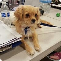 Tibetan Spaniel Mix Dog for adoption in Surprise, Arizona - Blu