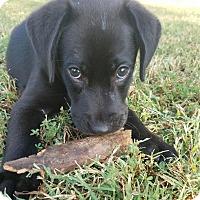 Adopt A Pet :: Kylo - Huntsville, AL