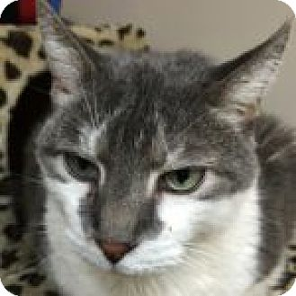 Domestic Shorthair Cat for adoption in Medford, Massachusetts - Conrad