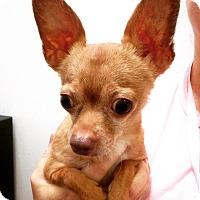 Adopt A Pet :: Benny - Marina del Rey, CA