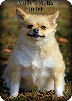 Pomeranian Dog for adoption in Dixon, Kentucky - Juliet