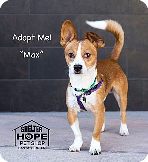 Corgi/Chihuahua Mix Dog for adoption in Valencia, California - Max