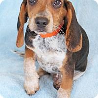 Adopt A Pet :: Scribble - Encinitas, CA