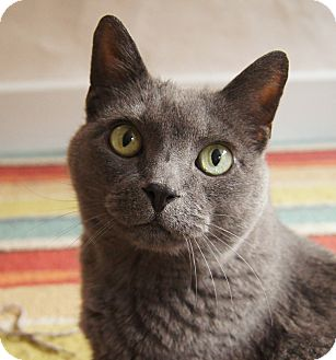 Colorado Springs, CO - Russian Blue. Meet Minnie a Cat for ...