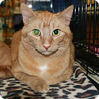 Domestic Shorthair Cat for adoption in Rochester, Minnesota - Nugget