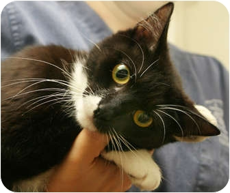 Domestic Shorthair Cat for adoption in Secaucus, New Jersey - Liza