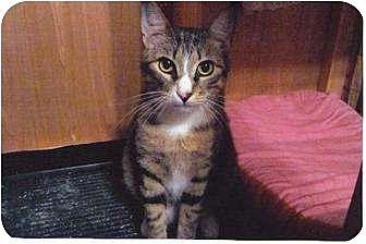Domestic Shorthair Cat for adoption in Cypress, Texas - Venus (KM)
