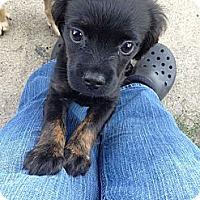 Adopt A Pet :: Bianca - Cumberland, MD