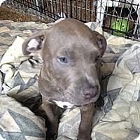 Adopt A Pet :: Levi - Pompano Beach, FL