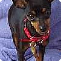Adopt A Pet :: Bette Boop - Atlanta, GA