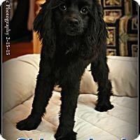 Adopt A Pet :: JuJu - Elmhurst, IL