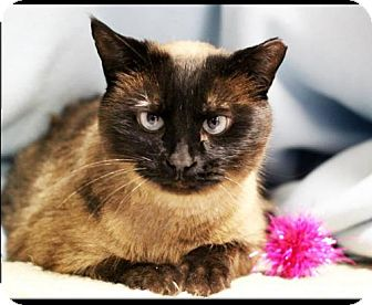 Siamese Cat for adoption in Shell Lake, Wisconsin - Frankie