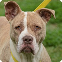 Adopt A Pet :: Sweetums - Charlemont, MA
