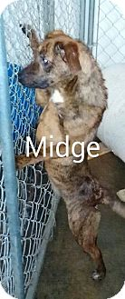 Plott Hound Mix Dog for adoption in Burlington, Vermont - Midge