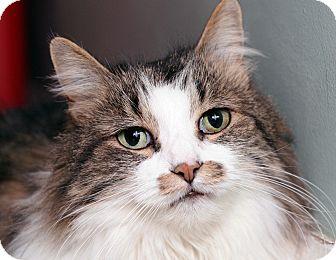 Domestic Longhair Cat for adoption in Royal Oak, Michigan - YOSHIE