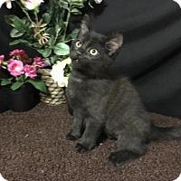 Adopt A Pet :: Foxy - Fayetteville, GA