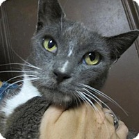 Adopt A Pet :: Meredith: Affectionate Russian Blue Mix Beauty - Brooklyn, NY