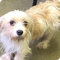 Adopt A Pet :: SHELBY - Cadiz, OH