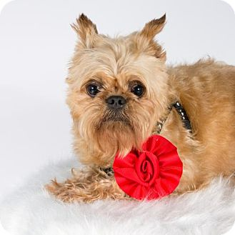 Brussels Griffon Dog for adoption in St. Louis Park, Minnesota - Judith
