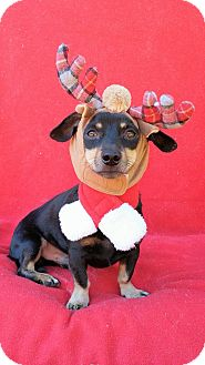 Dachshund Mix Dog for adoption in Charlotte, North Carolina - Higgins