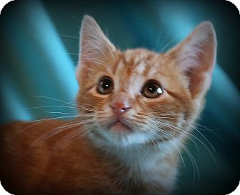 Domestic Shorthair Kitten for adoption in Hagerstown, Maryland - BJ