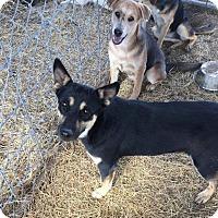 Shepherd (Unknown Type) Mix Puppy for adoption in Mesa, Arizona - DANIELLE