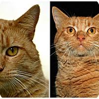Adopt A Pet :: Sphinx - Forked River, NJ
