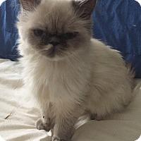 Adopt A Pet :: Ariel - Hampton, VA