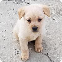 Adopt A Pet :: Baby Bruno - No Longer Accepting Applications - Potomac, MD