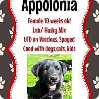 Adopt A Pet :: Appolonia - New Haven, CT