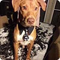 Adopt A Pet :: Chevy - Brattleboro, VT