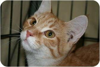Domestic Shorthair Kitten for adoption in Walkersville, Maryland - Tanner