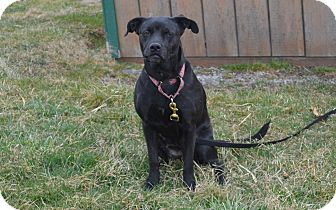 American Pit Bull Terrier Mix Dog for adoption in New Cumberland, West Virginia - Teka