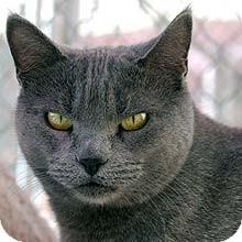 Domestic Shorthair Cat for adoption in Phoenix, Arizona - Rose
