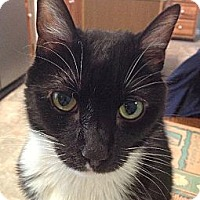 Domestic Shorthair Cat for adoption in Harrisonburg, Virginia - Sam