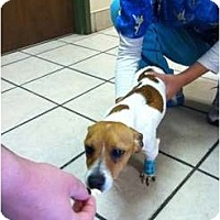 Adopt A Pet :: Petey in Midland - Midland, TX