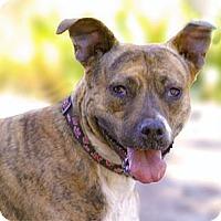 Adopt A Pet :: Sasha - all wiggles! - Sacramento, CA