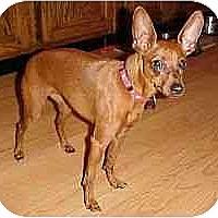 Adopt A Pet :: Sweet Pea - Florissant, MO
