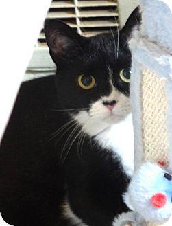 Domestic Mediumhair Cat for adoption in Devon, Pennsylvania - Birdie