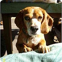 Adopt A Pet :: Sophie - Lincolndale, NY