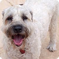 Adopt A Pet :: Abbey in AZ - North Kansas City, MO