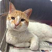 Domestic Shorthair Cat for adoption in East Brunswick, New Jersey - Charles
