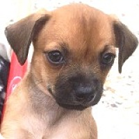 Adopt A Pet :: Shorty Shortstop - Houston, TX