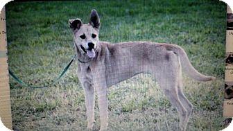 Shepherd (Unknown Type)/Australian Cattle Dog Mix Dog for adoption in Sanford, Florida - Auri