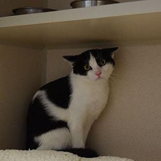 Domestic Shorthair Cat for adoption in Denver, Colorado - Butler