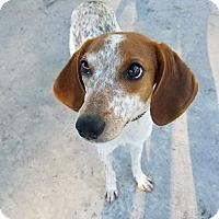 Adopt A Pet :: Lily - Umatilla, FL