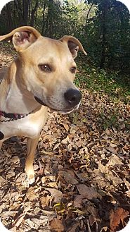 Boxer/Retriever (Unknown Type) Mix Dog for adoption in St. Charles, Missouri - Rosie