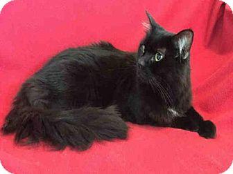 Domestic Mediumhair Cat for adoption in Urbana, Illinois - OLIVER