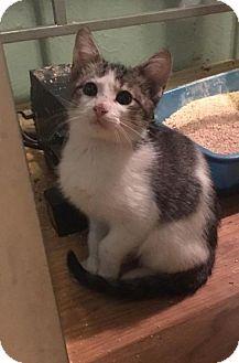Domestic Shorthair Kitten for adoption in Lawton, Oklahoma - DEREK